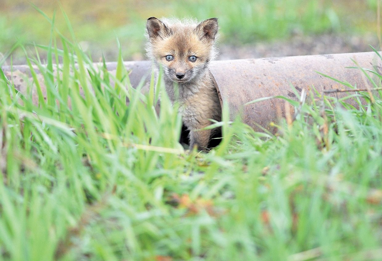 A fox kit plays it safe by taking refuge in an irrigation pipe Wednesday morning near Howelsen Hill.
