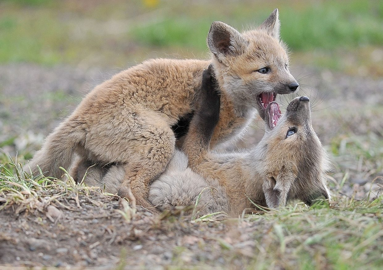 Young foxes wrestle on the ground Wednesday afternoon near Howelsen Hill. The den and mom were nearby, making sure the rambunctious kits didn't get in too much trouble while playing.