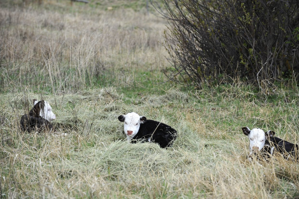 The three calves were born April 22 in North Routt. The odds of triplet calves being born has been reported as one in 100,000, and Lee Meyring, a veterinarian at Steamboat Veterinary Hospital, said he never has heard of triplet calves being born in Routt County.