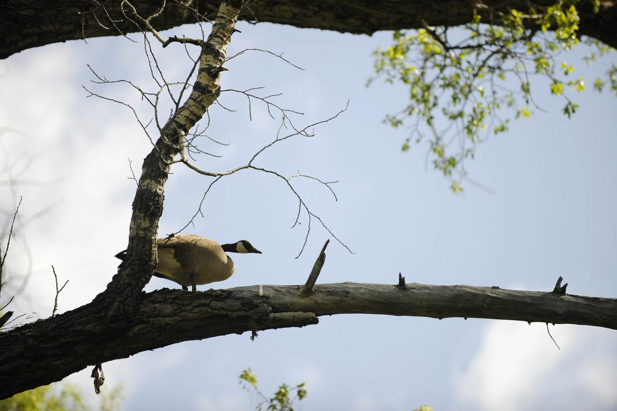 A Canada goose displays some abnormal behavior in a tree during International Migratory Bird Day on Saturday at the Carpenter Ranch.