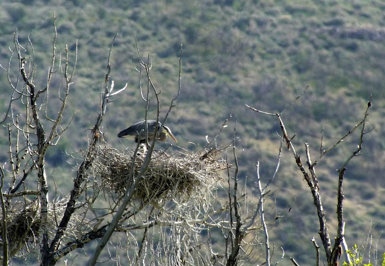 A great blue heron stands in its nest during International Migratory Bird Day on Saturday at the Carpenter Ranch.