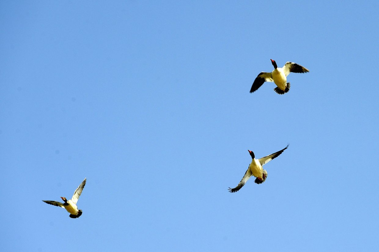 Common merganser ducks fly over the Carpenter Ranch on Saturday during International Migratory Bird Day.