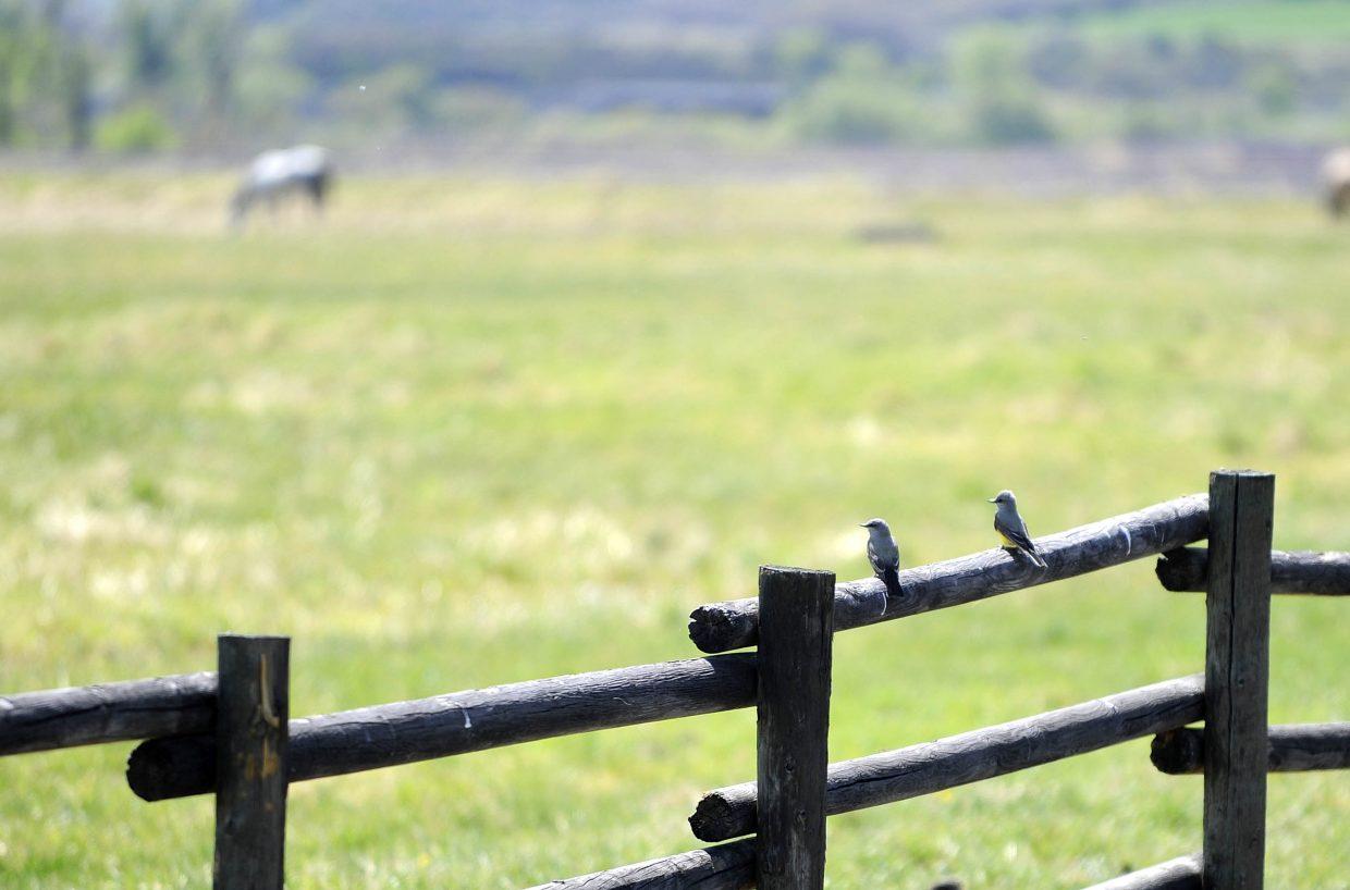 Mountain kingbirds sit on a fence during International Migratory Bird Day on Saturday at the Carpenter Ranch.