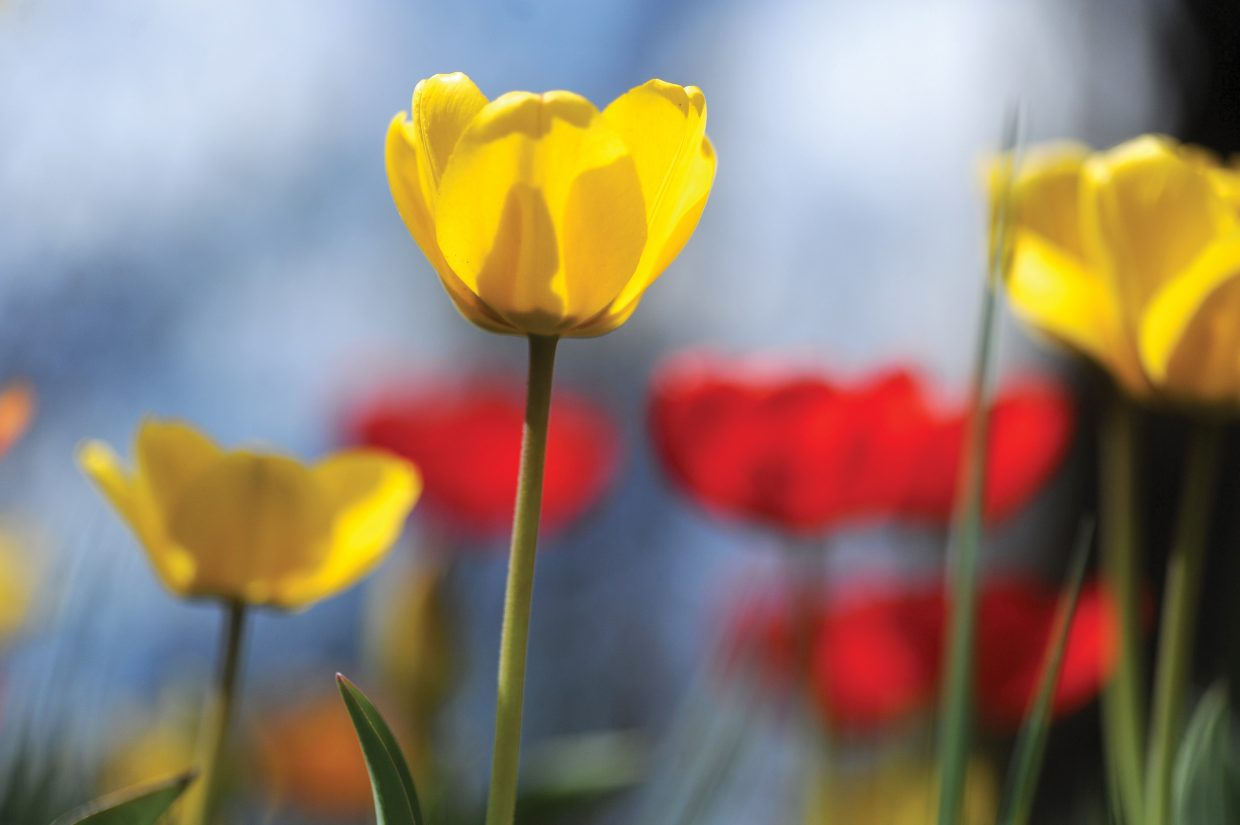 Tulips stand tall under the Routt County sun. Rain or shine, the third annual Home & Garden Expo will kickoff the spring season from 10 a.m. to noon on Saturday.