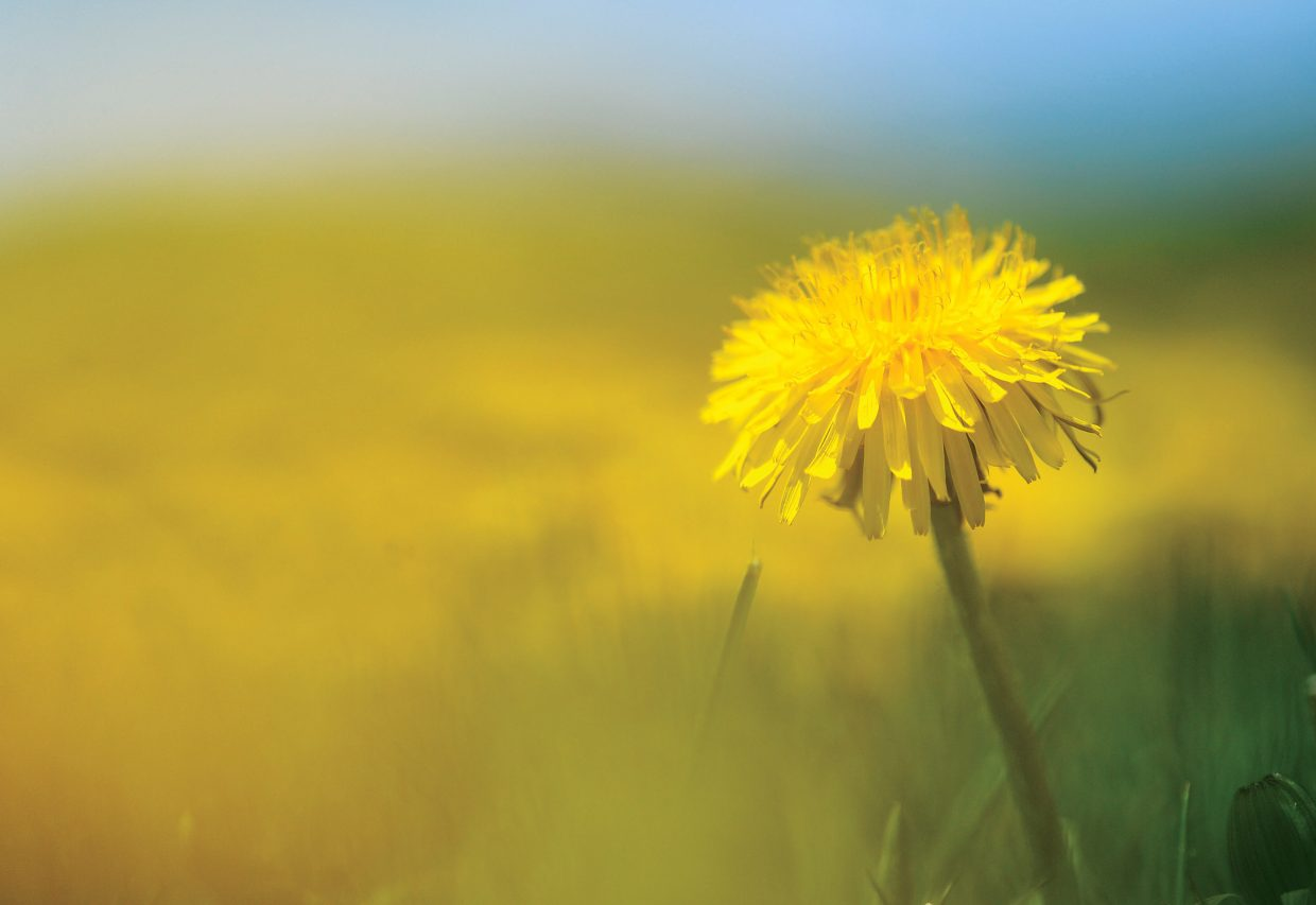 A bright dandelion colors the landscape of a field in Routt County.