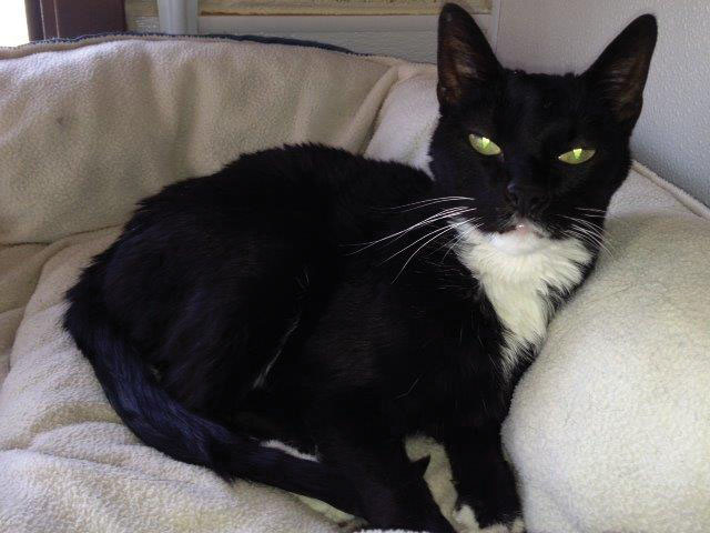 Sammy is a sweet, 7-year-old female. She is a mellow kitty and likes quiet surroundings as well as hanging out and relaxing on a window sill. She has an affectionate side and enjoys attention. Visit her at the Steamboat Springs Animal Shelter or call 970-879-0621 for more information.