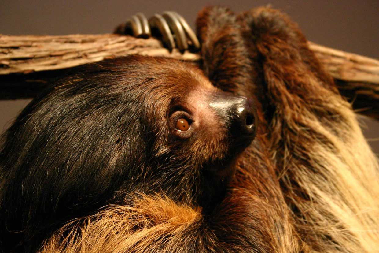Rob Mies will visit Bud Werner Memorial Library on Sunday to display several animals — including a two-toed sloth (pictured), a barred owl, an Australian bearded dragon and a striped skunk — as part of his Biodiversity Live program.