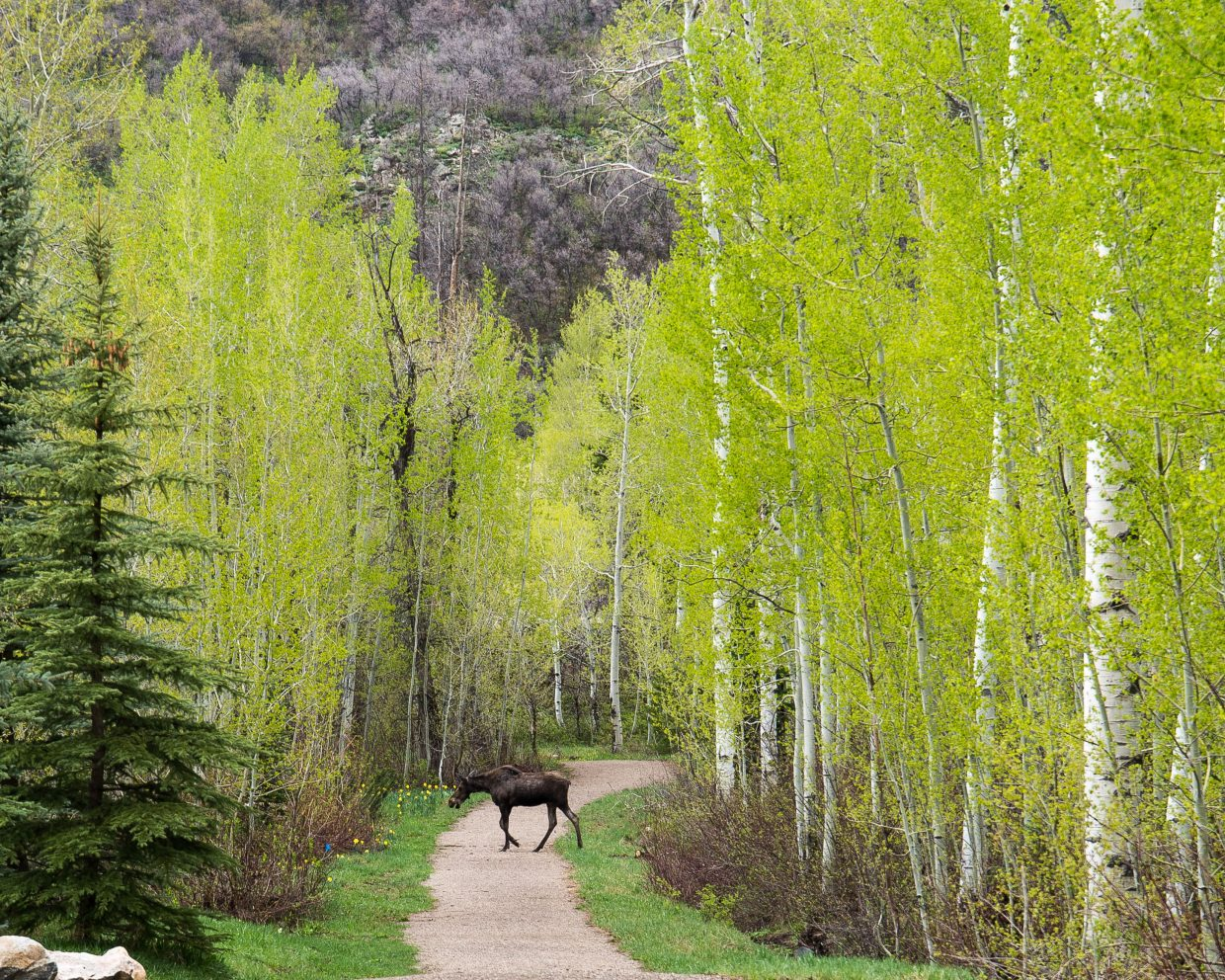 Steamboat Today reader Mark Ruckman submitted this photo of a moose Sunday on a trail near Aspen Wood Lane off Steamboat Boulevard. Do you have a photo to share? Submit it to share@SteamboatToday.com, we'll print it in the paper or post it on our website.