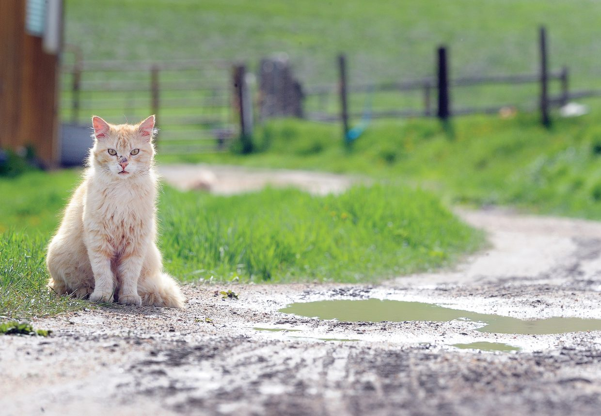 A barn cat sits along a dirt driveway at a ranch on Routt County Road 42 earlier this week.
