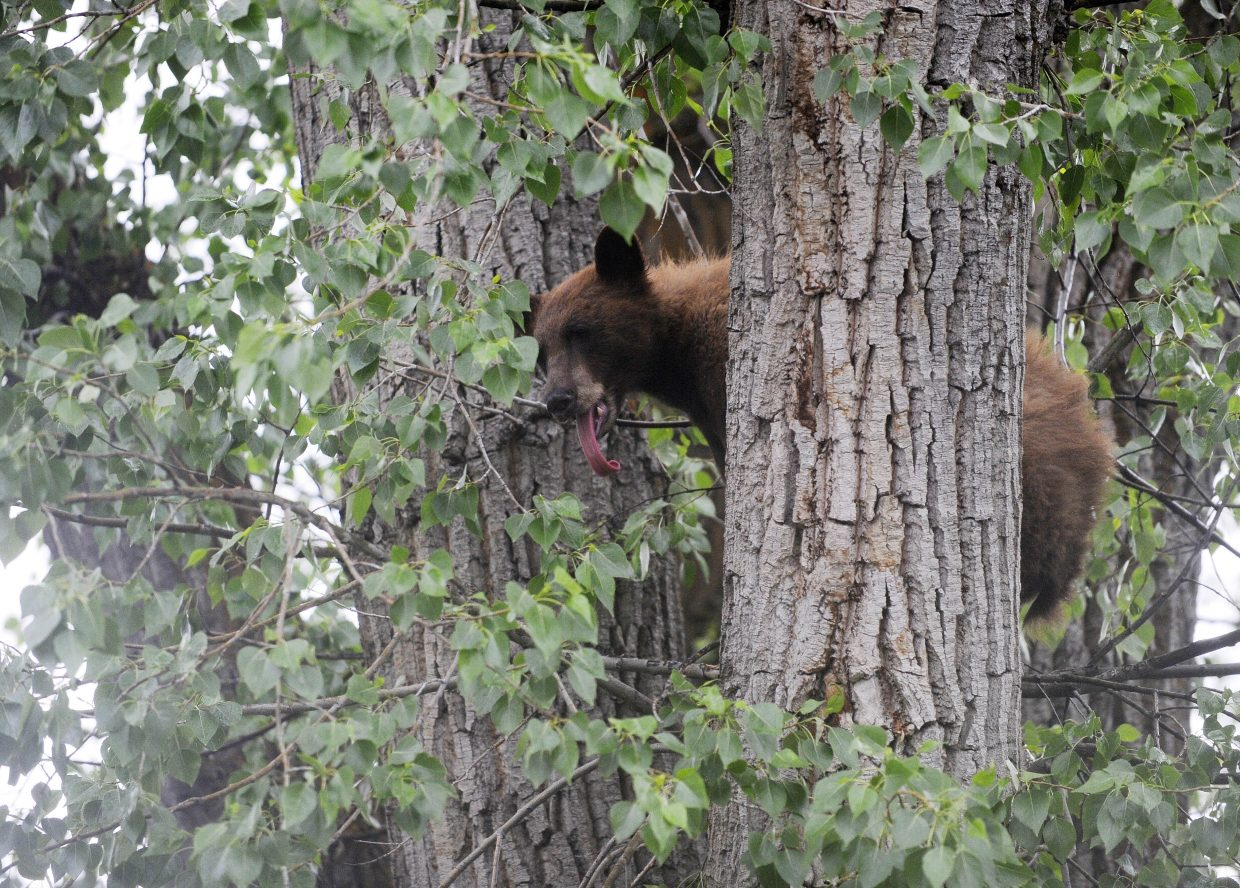 A black bear sits in a tree between Eighth and Ninth Streets along Pine Street in downtown Steamboat Springs.