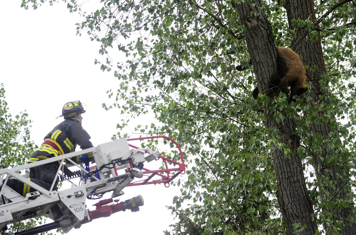 Steamboat Springs Fire Rescue firefighter Leighton White approaches the bear, which got stuck high up in the tree after being tranquilized.