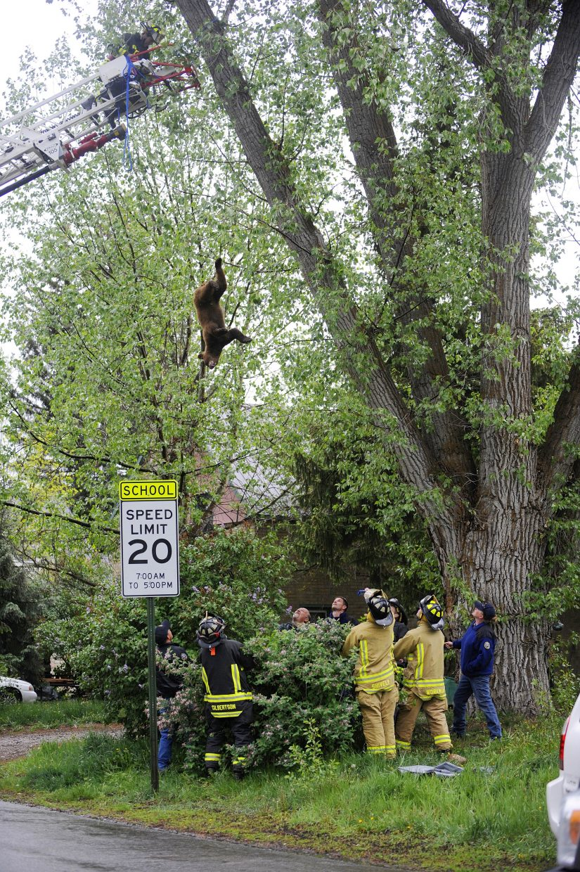 The bear slipped out of a rope tied around its leg and fell from the tree.