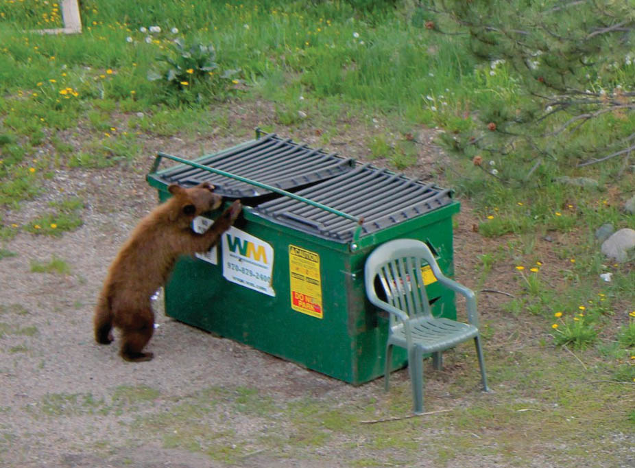 This bear had no trouble helping himself to a snack from a bear-proof Dumpster earlier this month near 11th and Oak streets in downtown Steamboat Springs. Police say they plan to increase enforcement of trash rules.