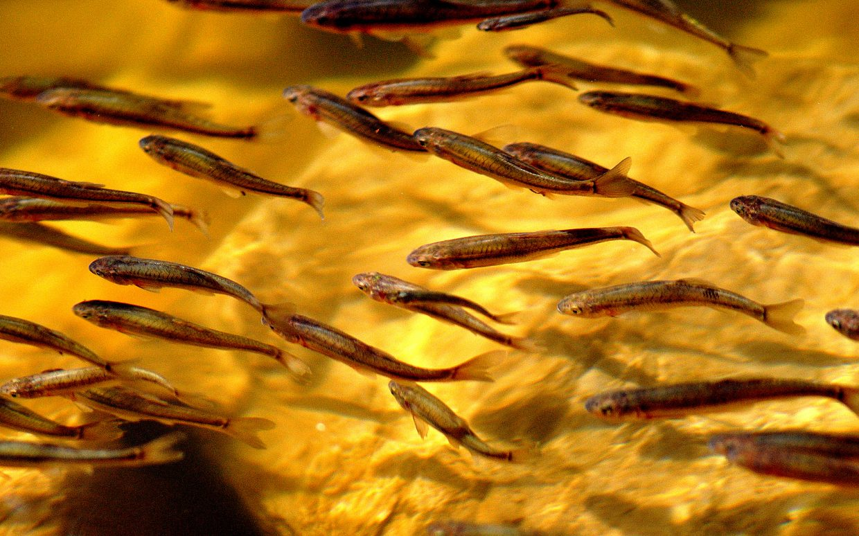 Fingerling trout swim together Saturday in Pearl Lake.
