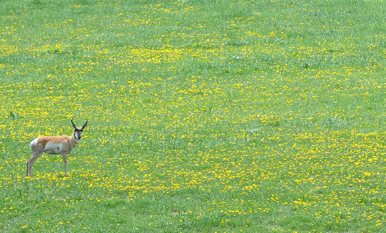 A pronghorn stands in a field filled with dandelions near Routt County roads 43 and 43A south of Steamboat Springs.