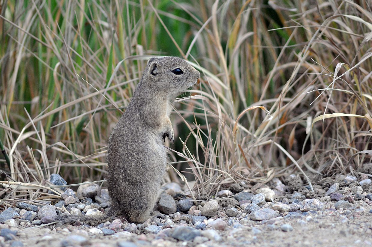 A young gopher takes a breather Friday after running across Routt County Road 52 north of Steamboat Springs.
