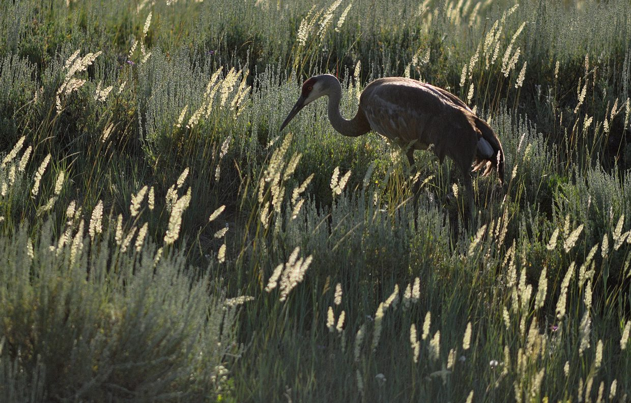A sandhill crane looks for food on Friday in a field north of Hayden.