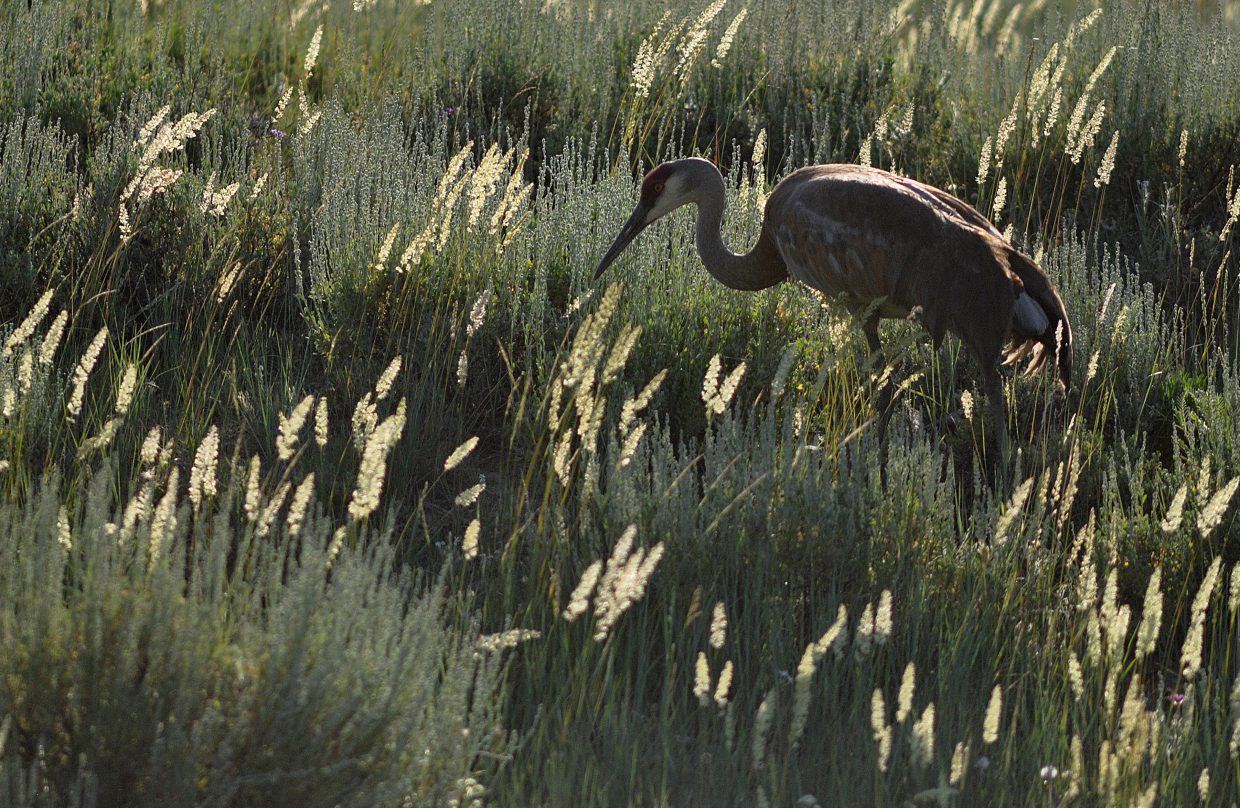 Sandhill cranes are a common sight on the memorable trip to California Park north of Hayden.