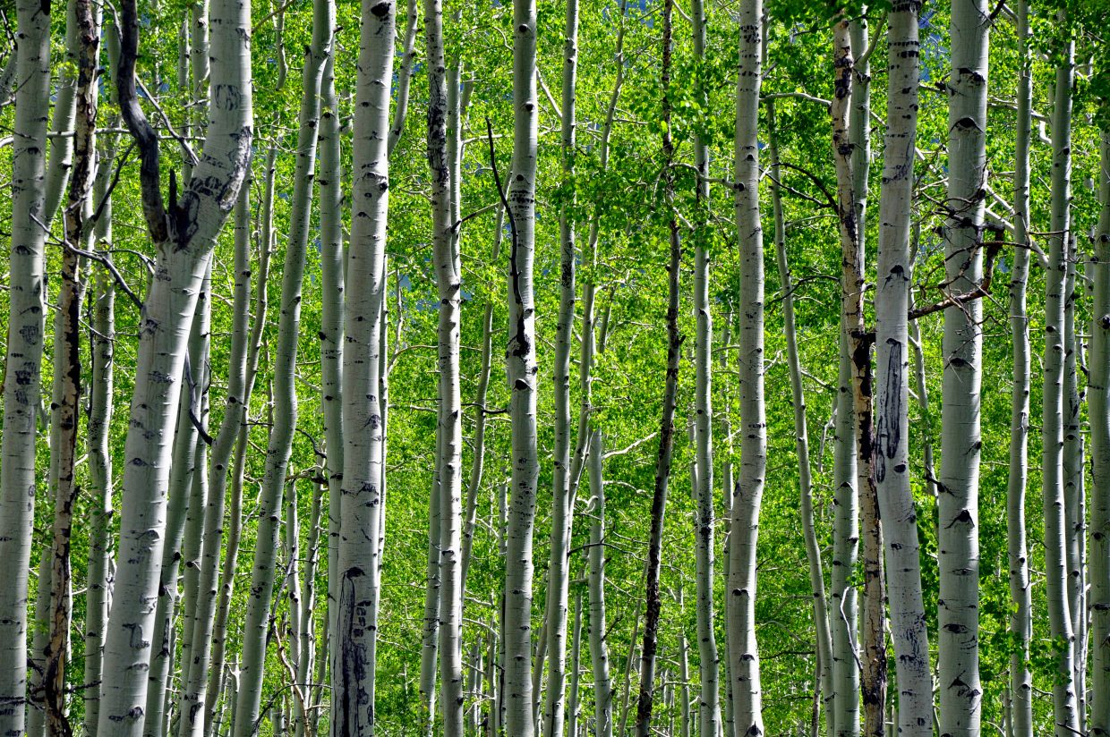 Green aspen groves are abundant along the Flat Tops Scenic Byway.