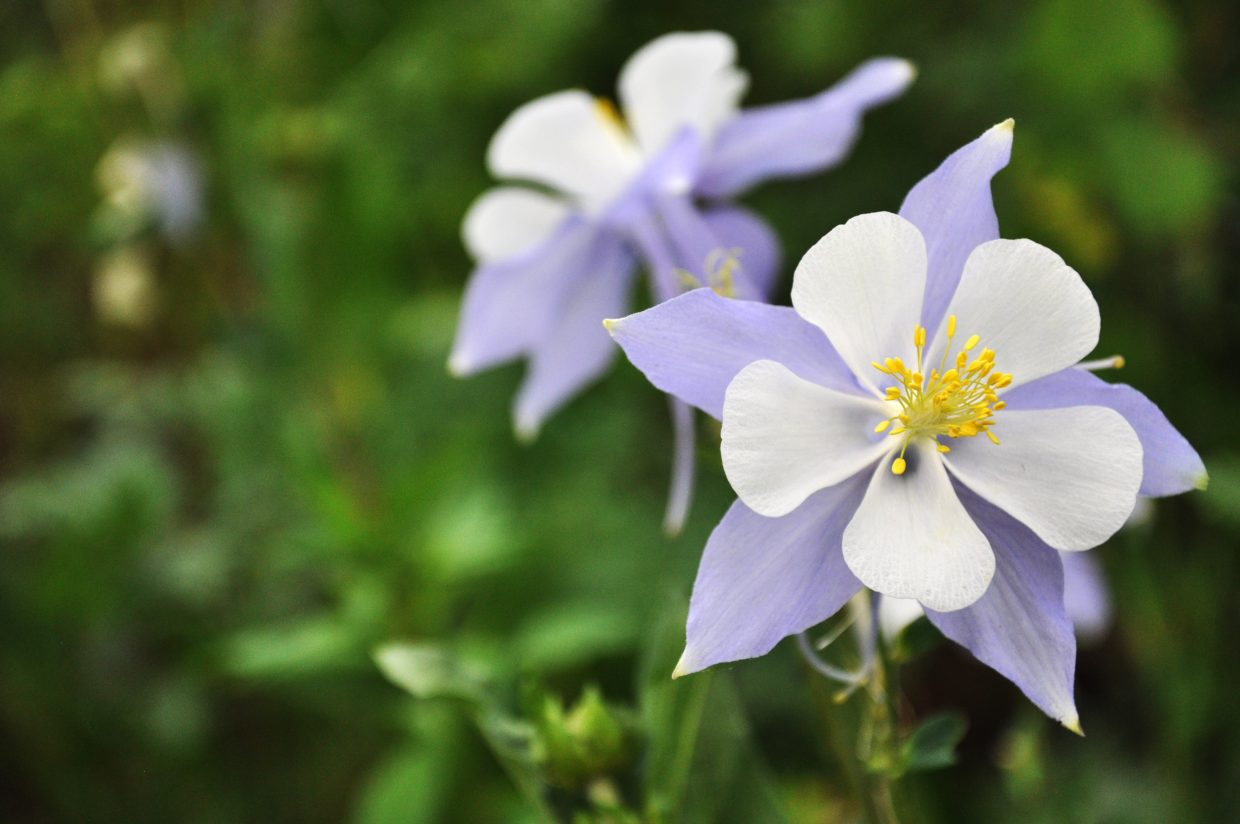 Despite a dry June in Routt County, wildflowers like this columbine are vibrant on Buffalo Pass.