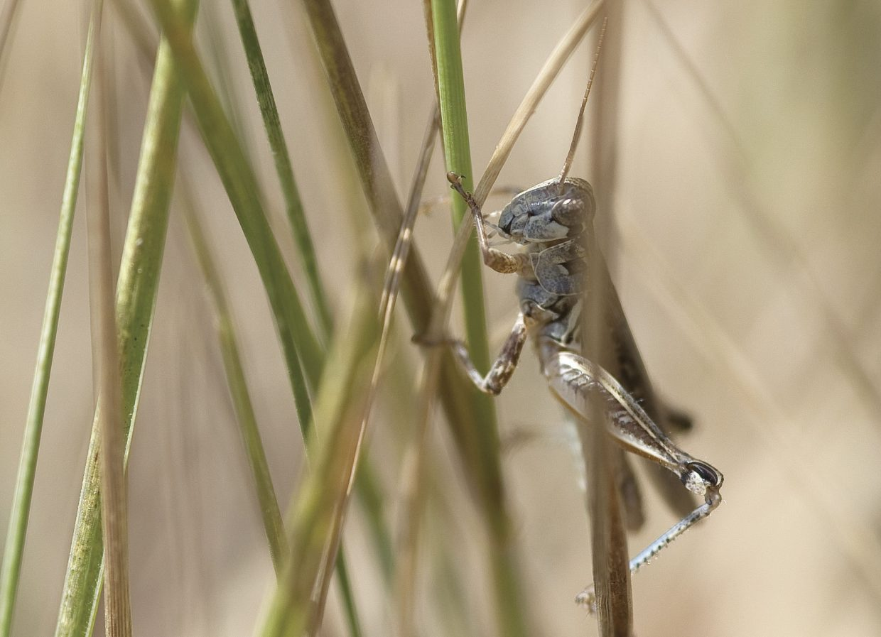 As if the dry conditions were not challenging enough, ranchers and homeowners in Steamboat Springs soon could face another nemesis. Fields in the area already are filled with small grasshoppers, and officials are worried that the populations will continue to grow as dry conditions persist.