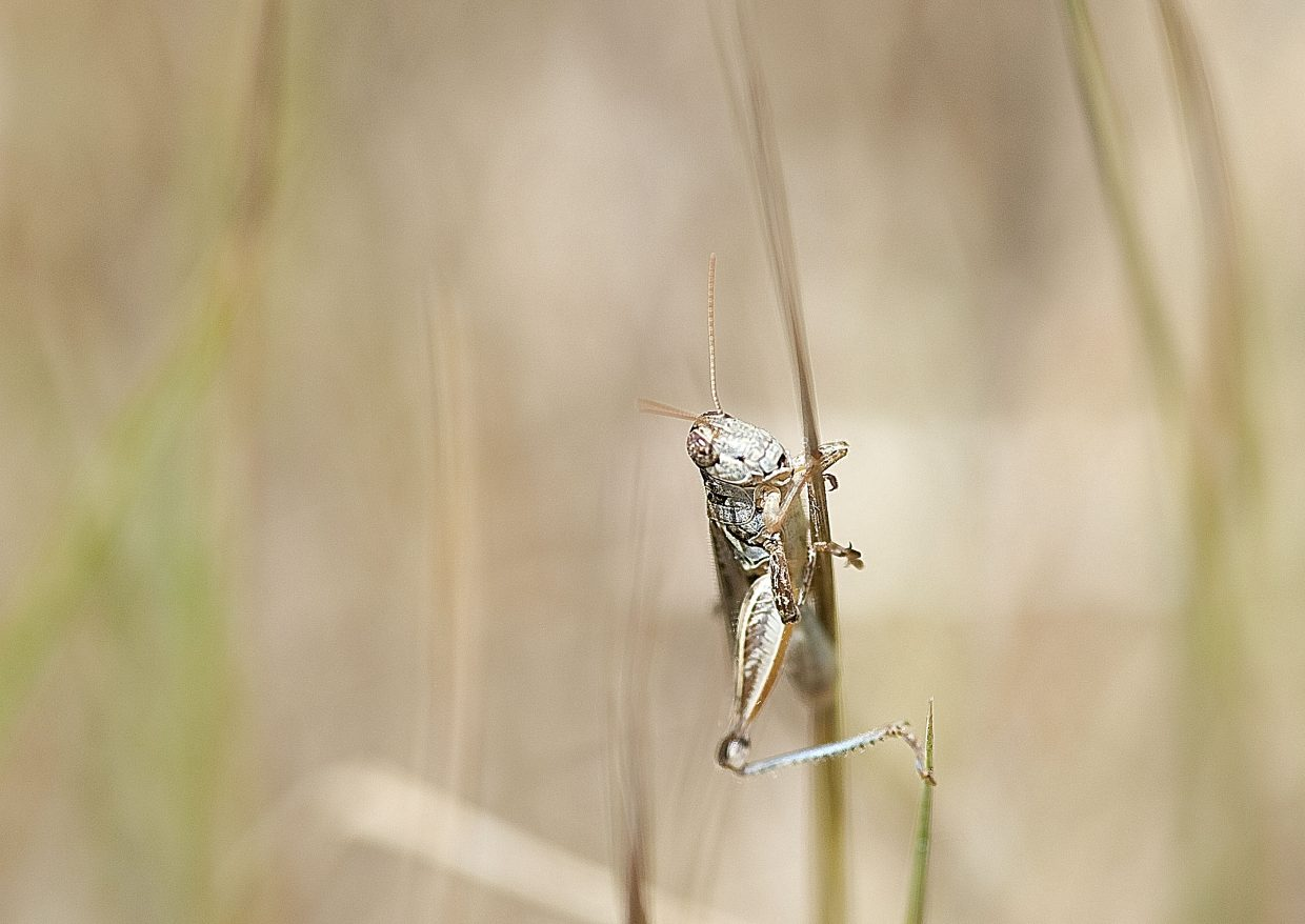 Professor Alex Latchininsky, of the University of Wyoming, confirmed Monday that the early arrival of mild weather in Northern Colorado and Southern Wyoming this year provided the potential to give juvenile grasshoppers a fast start.