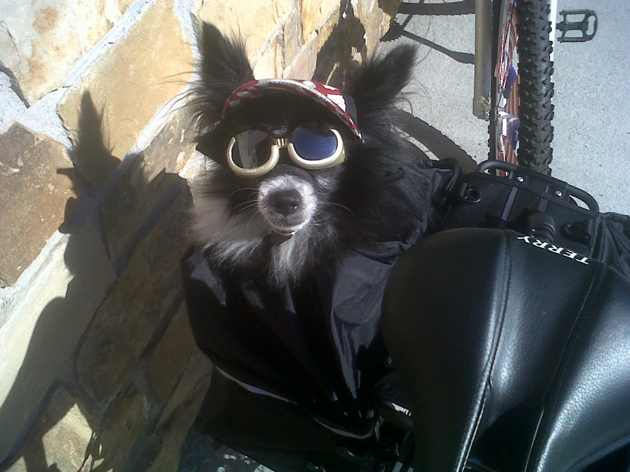 Stanzi Lucy's dog, Telluride, gets ready for Steamboat's Fourth of July parade Monday morning.