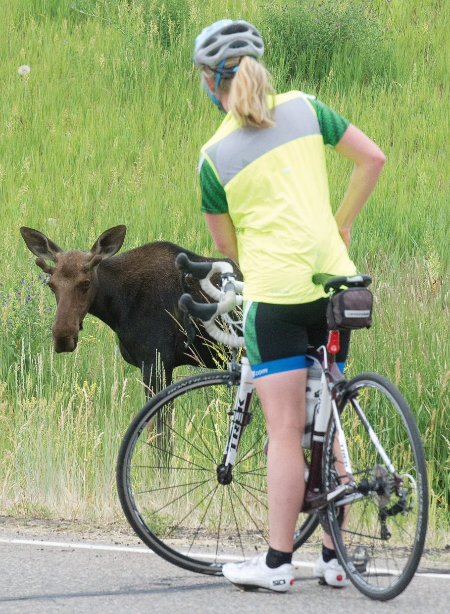 A cyclist stops dangerously close to one of two moose handing out in a grassy field off of Mount Werner Circle Friday afternoon. Wildlife officials warn that the animals are incredibly dangerous and very fast. People should give the animals plenty of room and avoid aggravating them whenever possible.