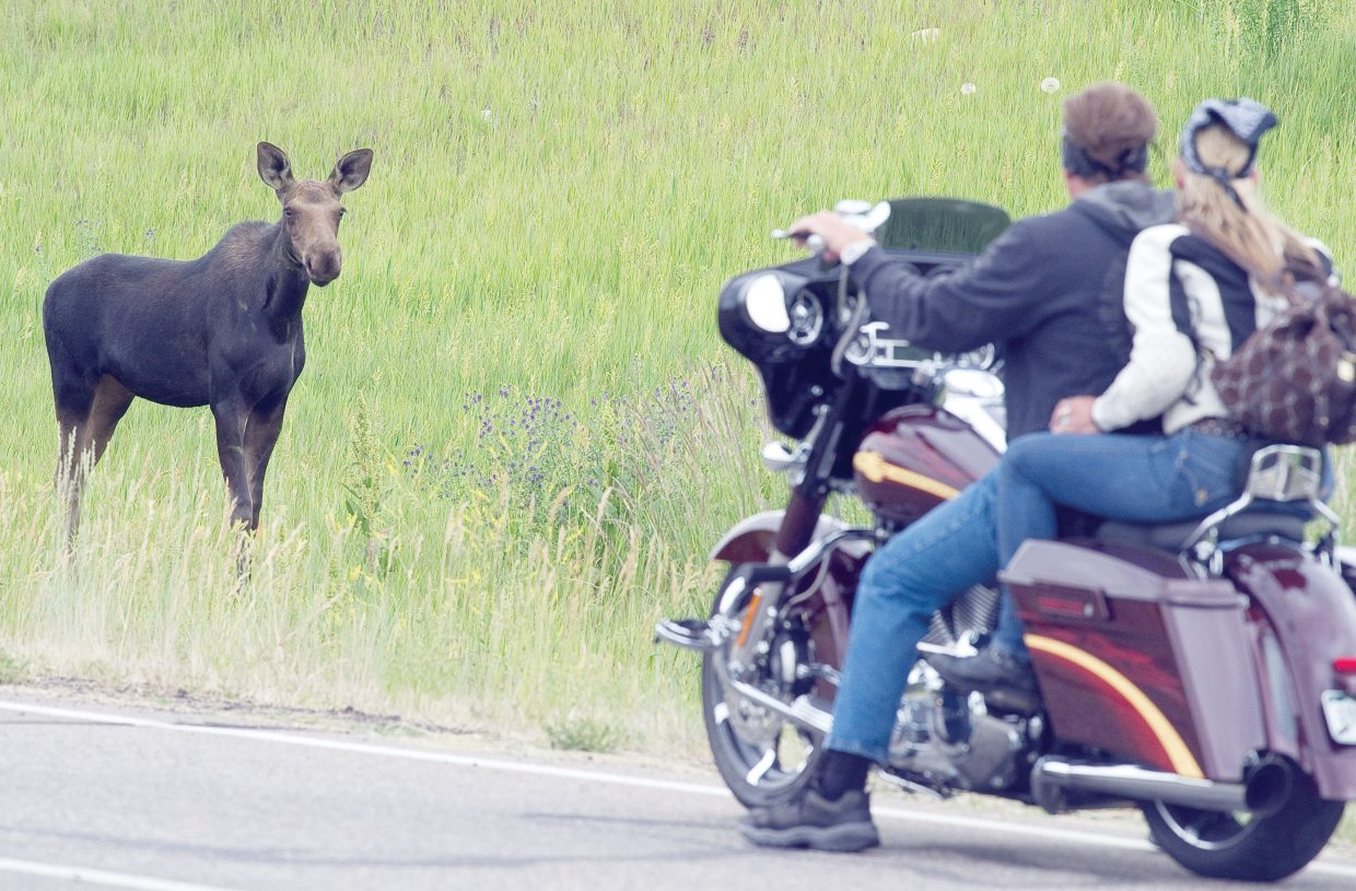 This moose takes a moment to check out a couple who stopped while riding their motorcycle along Mount Werner Circle on Friday afternoon. Wildlife officials warn that the animals are incredibly dangerous, unpredictable and fast.