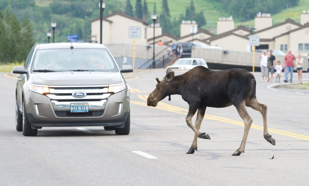A large moose crosses Mount Werner Circle on Friday afternoon past a large crowd of people and cars that stopped to watch the animal eating in a nearby field.