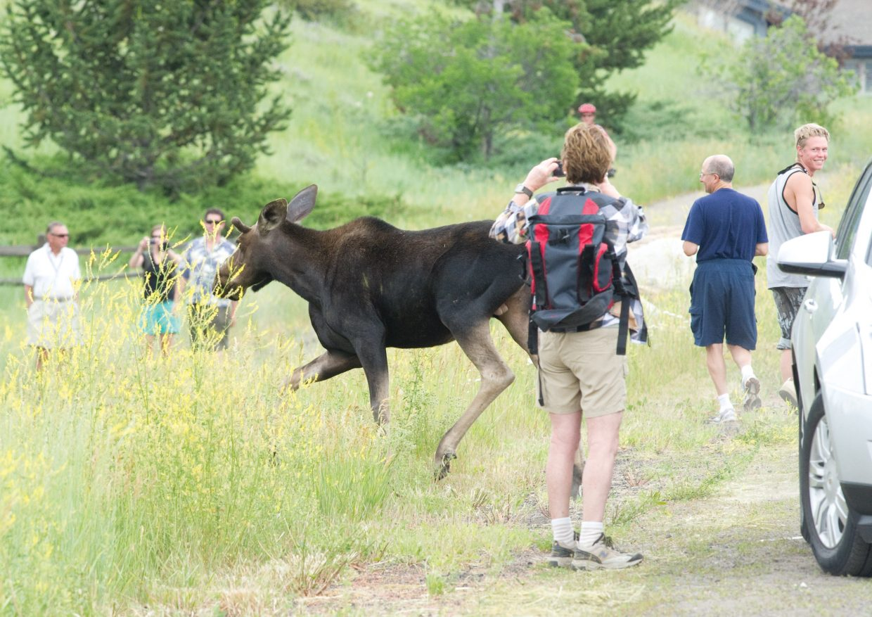A moose moves past a crowd of people who had gathered to view and photograph it Friday afternoon on Mount Werner Circle. Wildlife officials warn that the moose are incredibly dangerous, unpredictable and very fast. People should give the animals plenty of room and avoid aggravating them whenever possible.