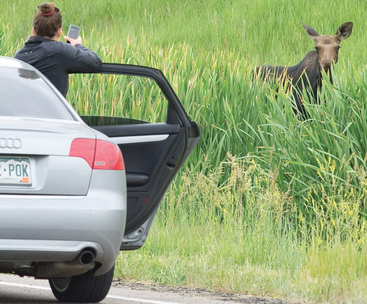 A passenger in a car driving along Mount Werner Circle opens the passenger side door of the car and positions herself to grab that once-in-a-lifetime shot of a moose walking through the nearby vegetation. It's a dangerous situation according to officials with Colorado Parks and Wildlife who warn that the animals are incredibly dangerous. People should give the animals plenty of room and avoid aggravating them whenever possible. Cars may not always offer protection from the animals that have been known to ram vehicles with their heads and front hooves.