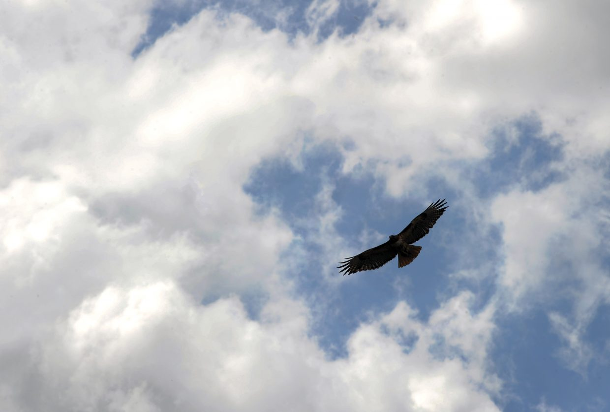 A hawk rides the updrafts near the Colorado Mountain College campus in Steamboat Springs.