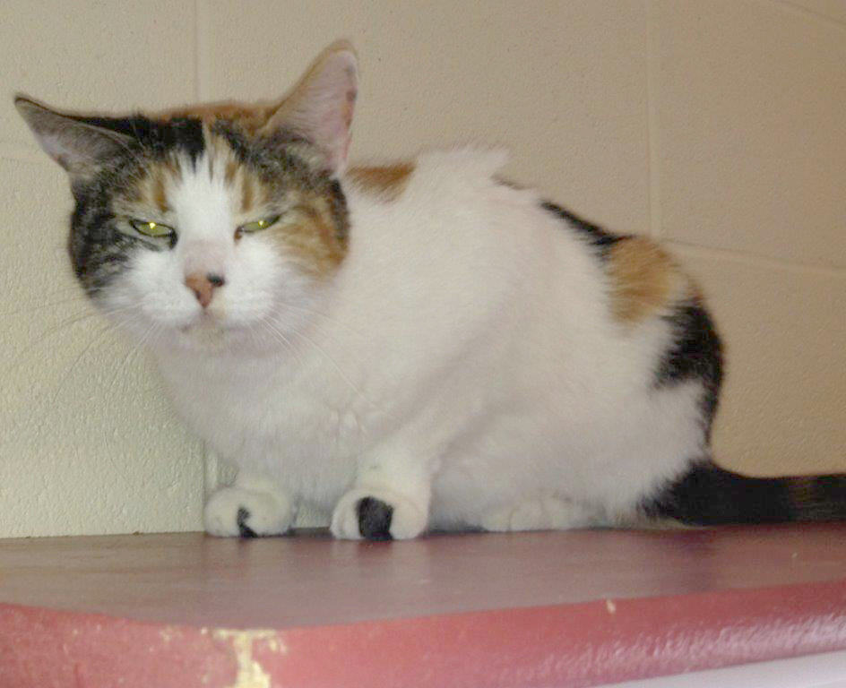 Adopt Gypsy: Gypsy is a very affectionate 5-year-old calico. She loves being included in everything and being part of the family. This sweetie does not have any teeth but still is able to eat regular food. She gets along well with other cats. Come meet Gypsy at the Steamboat Springs Animal Shelter, or call 970-879-0621 for more information.