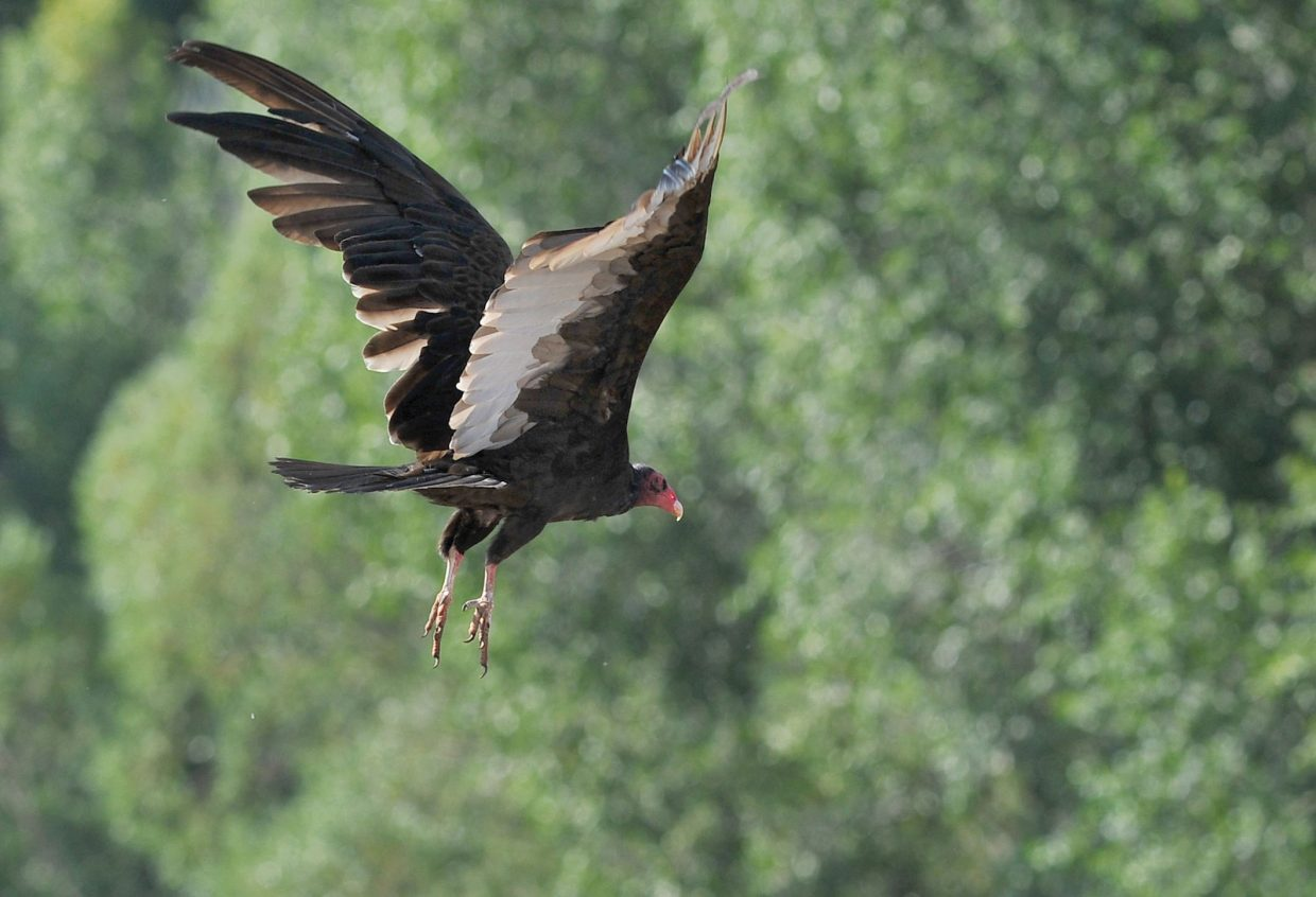 A turkey vulture takes flight Friday morning near U.S. Highway 40 just west of Steamboat Springs.