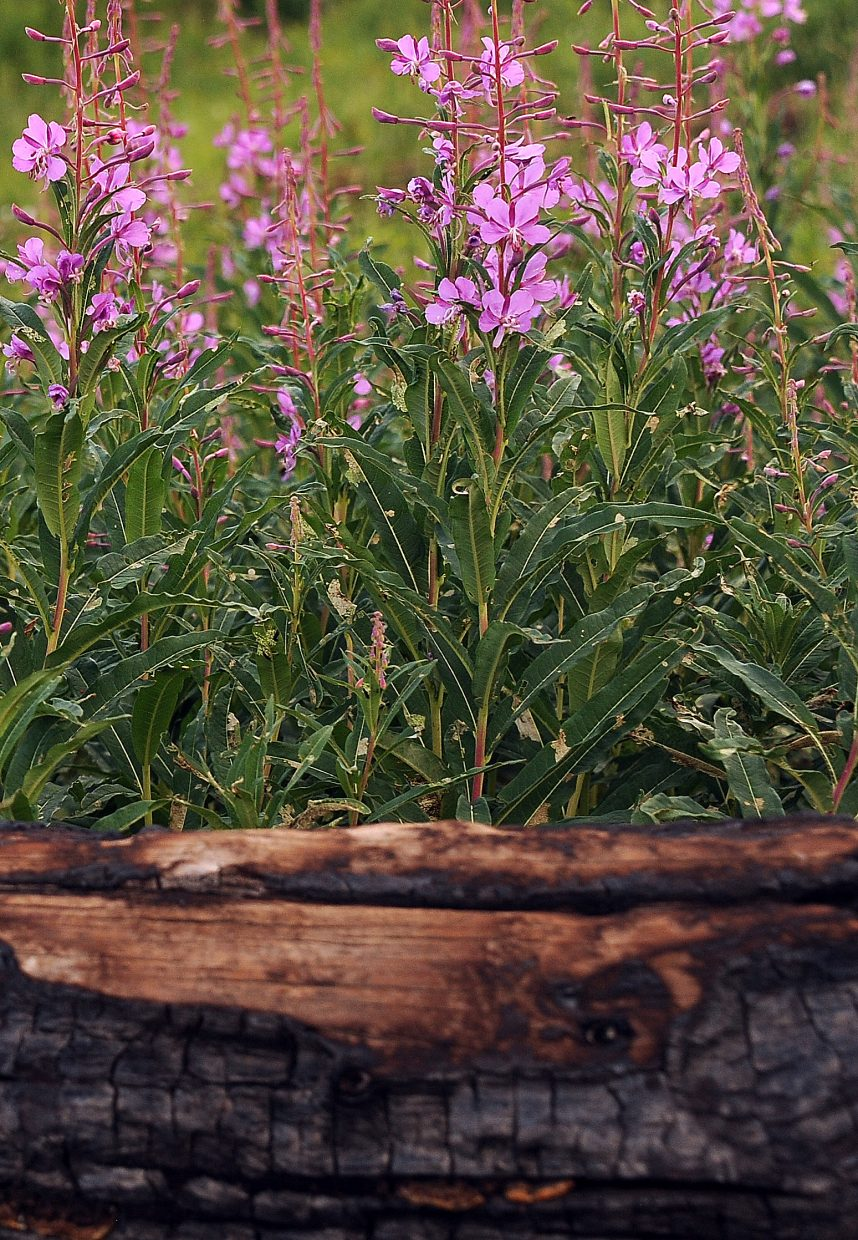 Flowers grow up out of a burned-out tree along the hike to Mica Lake.