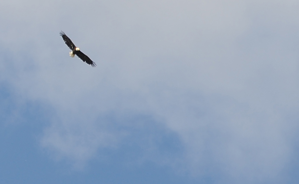 A bald eagle swings wide over Mica Lake looking for prey.