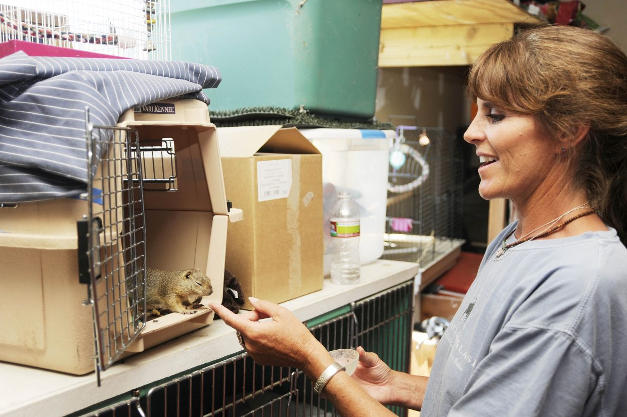 Steamboat Springs wildlife rehabilitator Tracy Bye on Tuesday visits a rock squirrel that she has been taking care of for five weeks. Bye has been running the Born Free Wildlife Rehabilitation Center for 20 years.