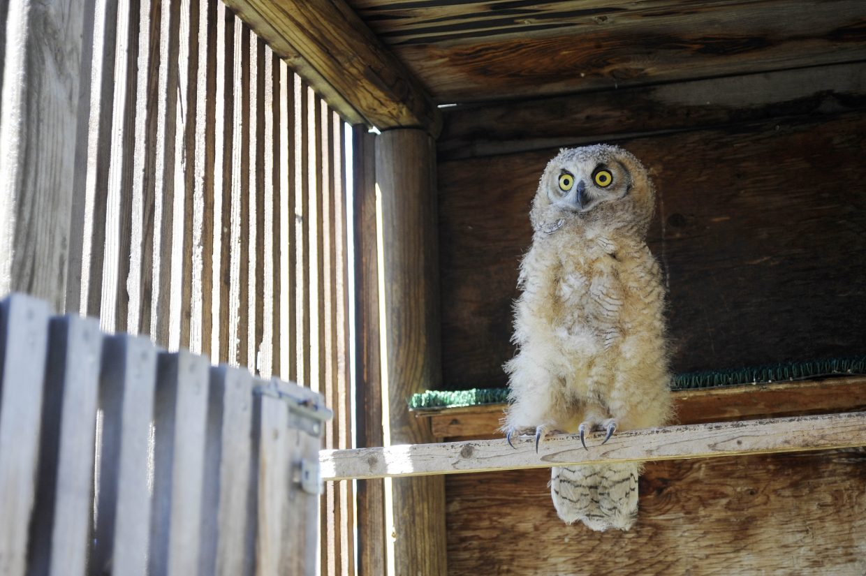 A young great horned owl is one of the animals Tracy Bye is caring for at the Born Free Wildlife Rehabilitation Center.