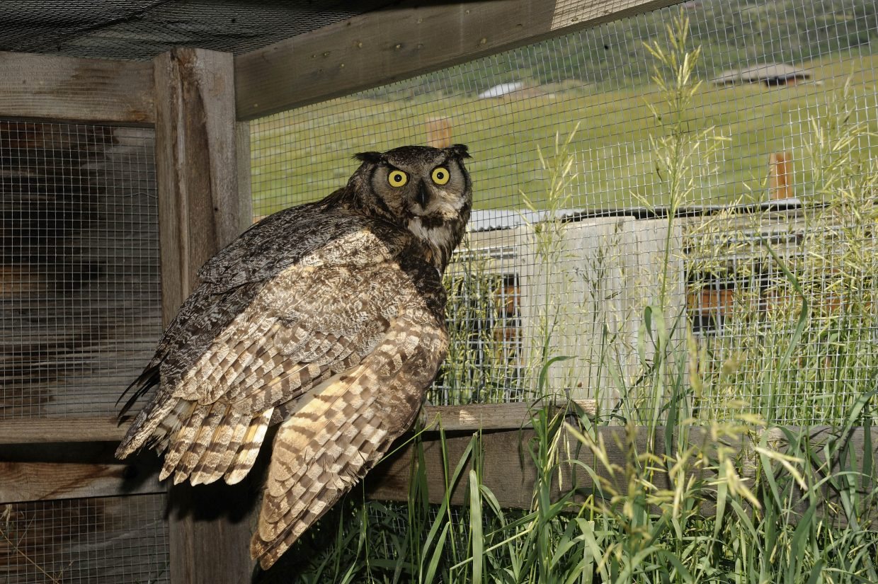 Tracy Bye is taking care of an adult great horned owl with an injured wing.