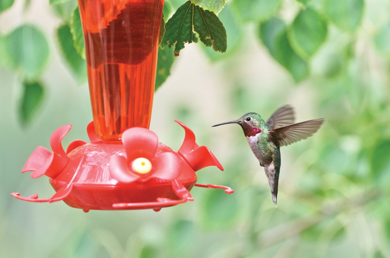 Steamboat Today reader Susannah Blundell submitted this photo of a hummingbird. Do you have a photo to share? Send it to share@SteamboatToday.com.