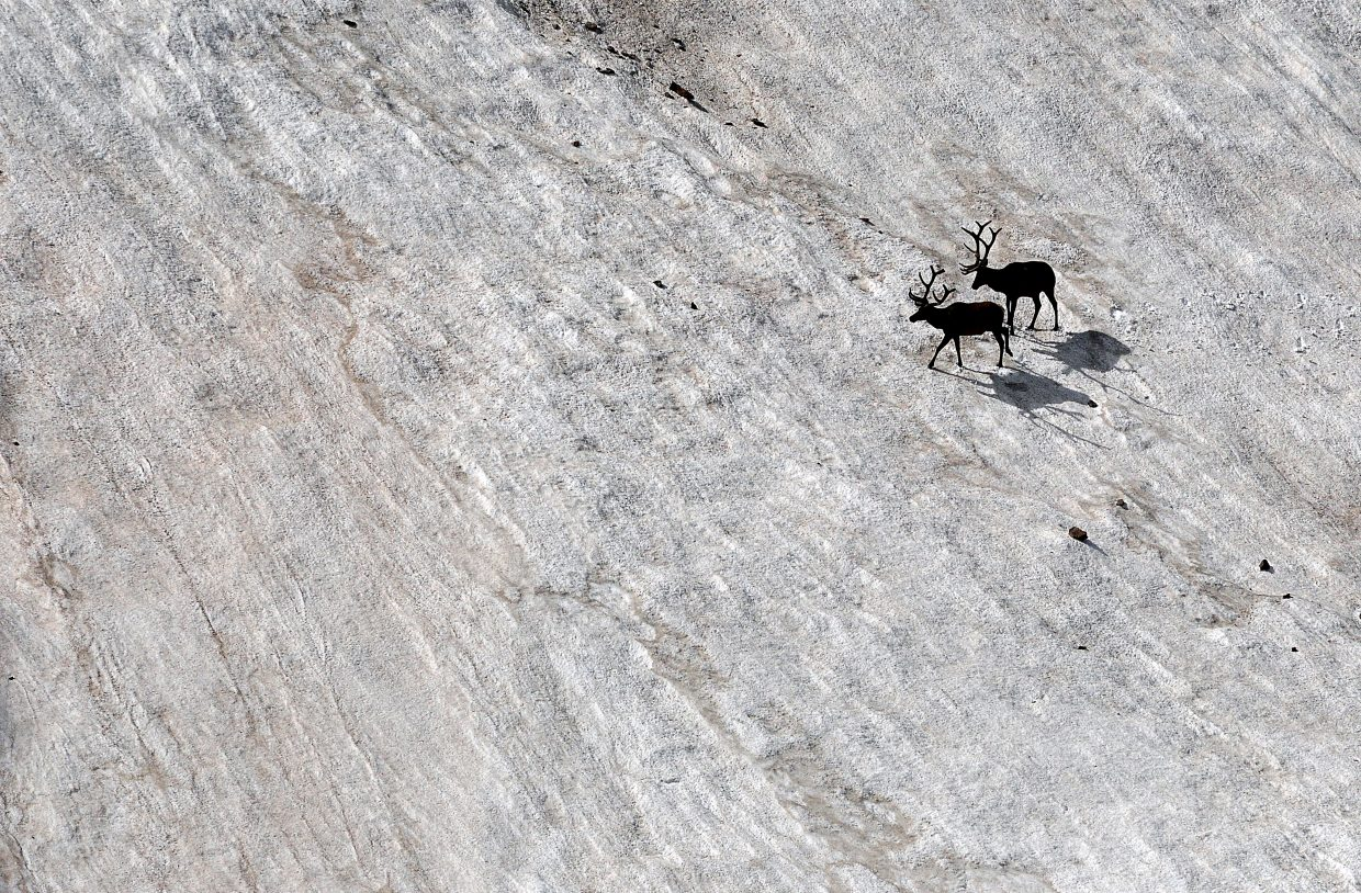 A pair of elk walk on the last blankets of snow beneath the lava cliffs at Rocky Mountain National Park. There is plenty of wildlife to see on a drive along Trail Ridge Road.