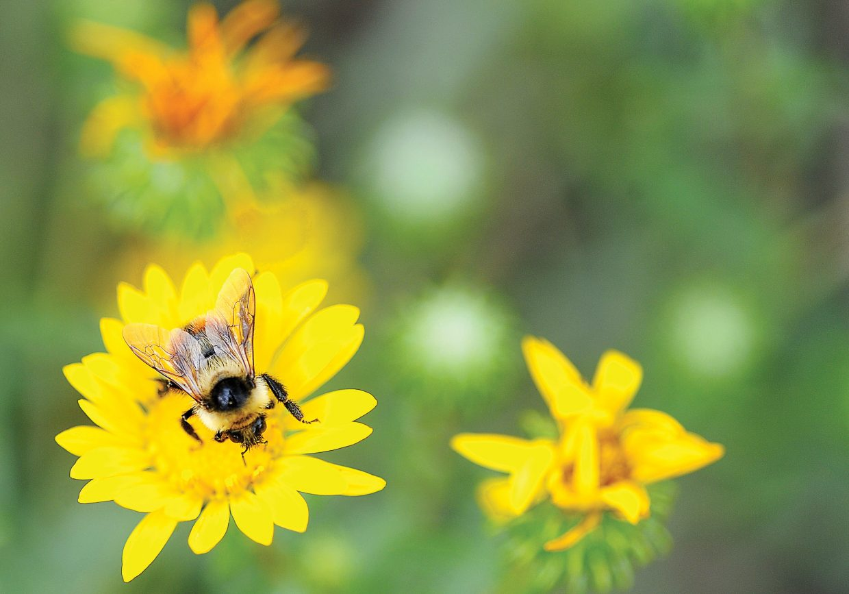 A bumblebee lands on a brightly colored flower off of Storm Meadows Drive Monday afternoon.