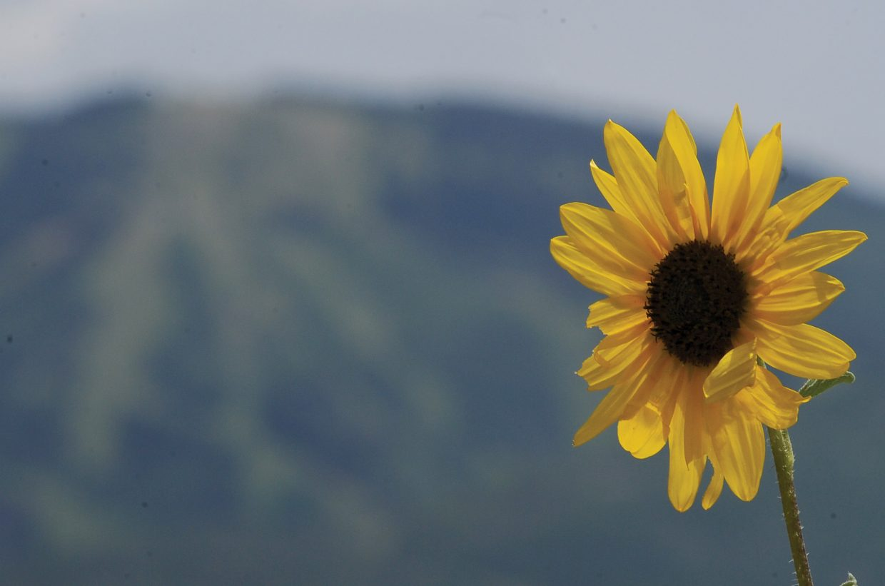 Mount Werner forms the perfect backdrop for a sunflower in full bloom near Steamboat Springs.