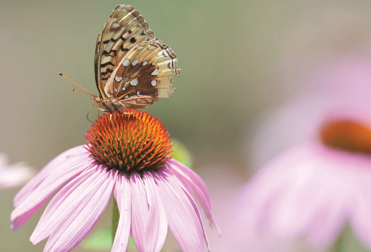 A butterfly lands on one of the colorful flowers at Yampa River Botanic Park.
