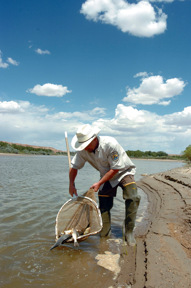 U.S. Fish and Wildlife Service biologist Mike Montagne releases razorback suckers into the Yampa River after injecting the fish with passive transponders, which allow biologists to track them. Montagne has devoted 13 years of his career to propagating the endangered fish species.