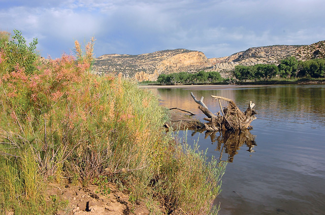 The pale lavender blossoms of tamarisk have the beauty of ornamental plants. But the pretty flowers are deceiving. The tamarisk is an aggressive invader that disrupts the natural environment along rivers such as the Yampa and Green in Northwest Colorado.