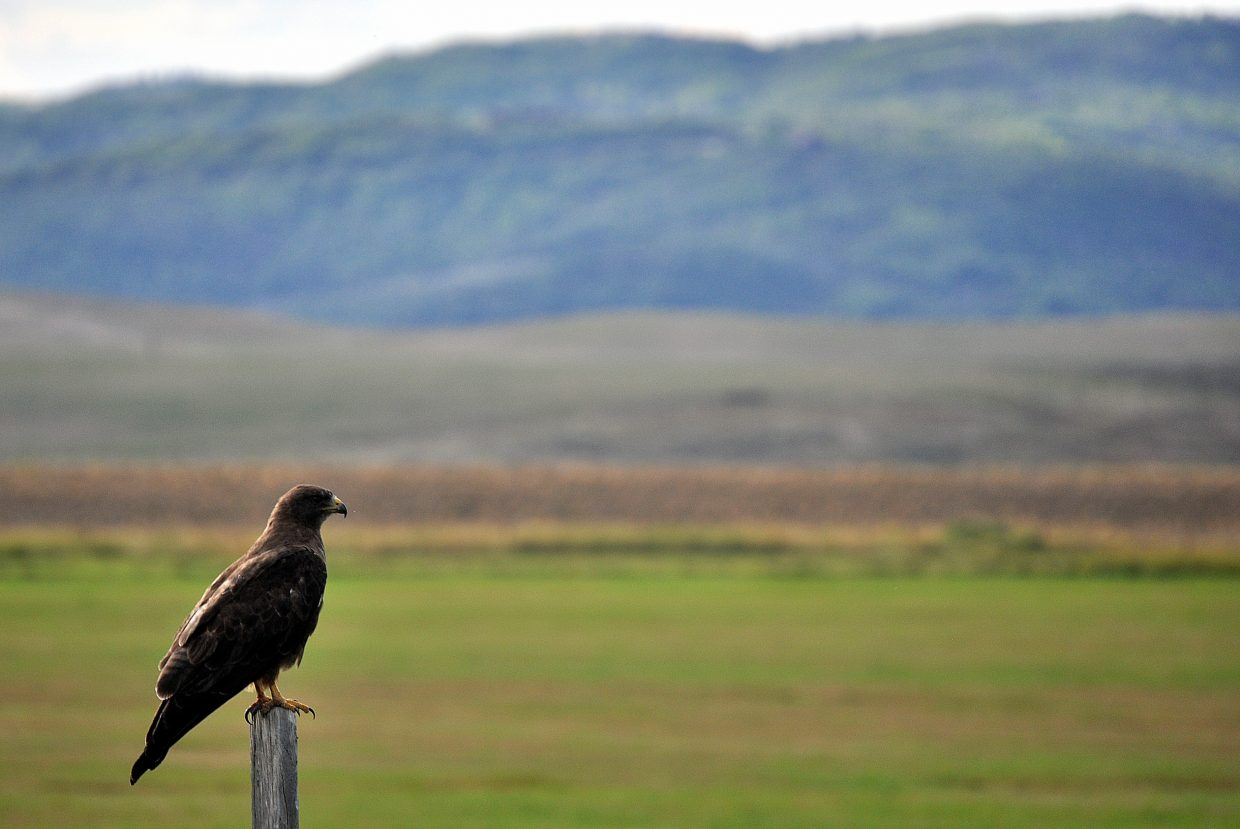 A hawk takes in the scenery Sunday from atop a post along Routt County Road 18 south of Steamboat Springs.