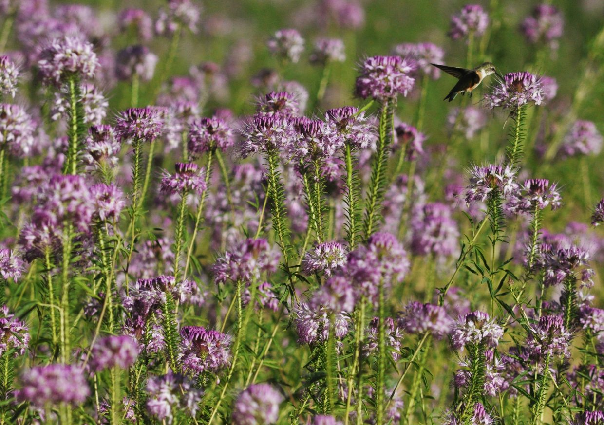 A hummingbird flies among the wildflowers in Echo Park. Two hikes from the park offer plenty of opportunities to view wildlife.