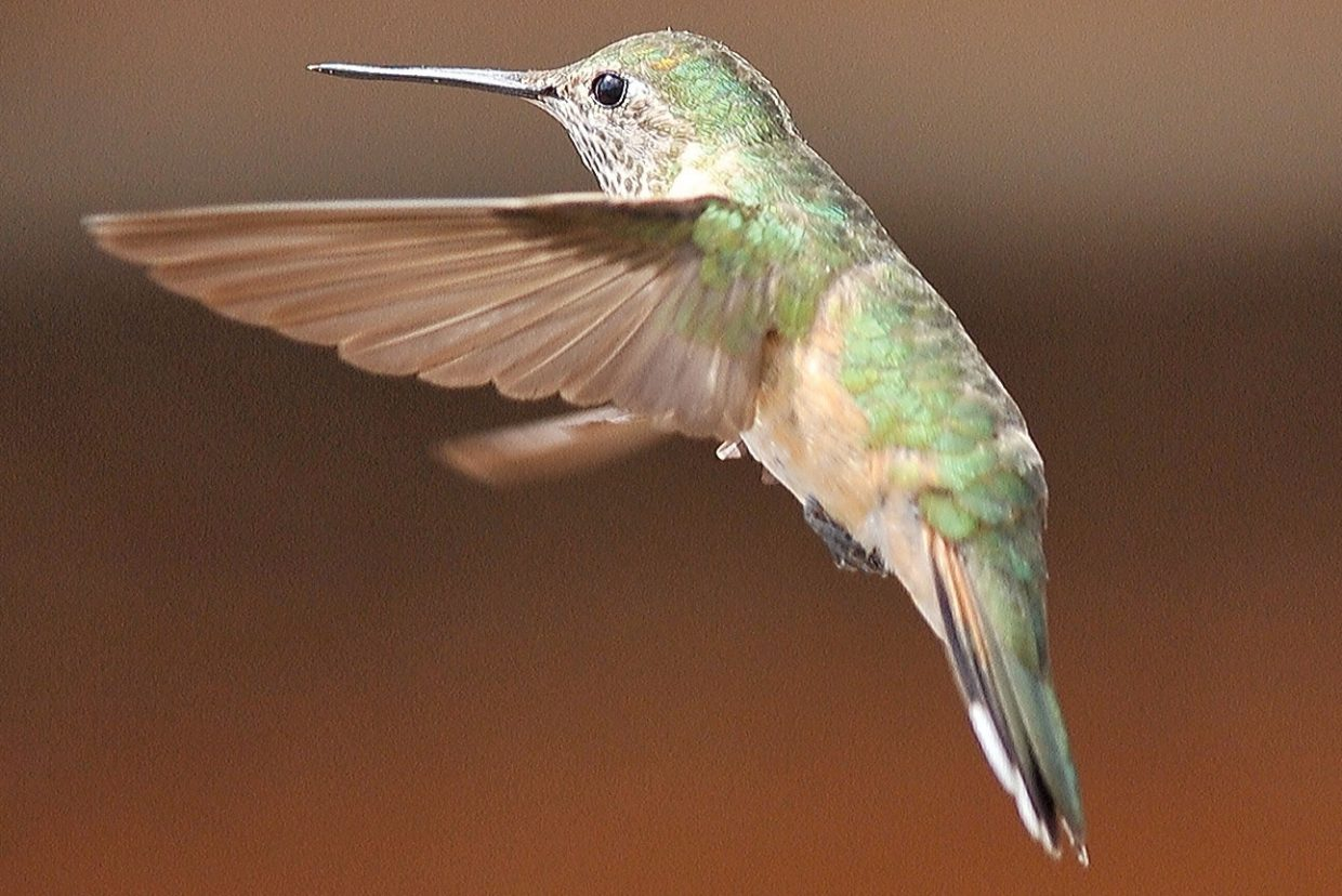 A humming bird hovers in the air near a feeder in Hahn's Peak Village.